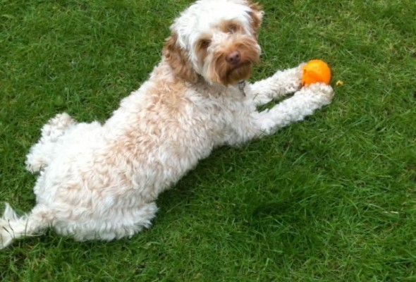 Missing dog Izzy radcliffe cockapoo lost stolen