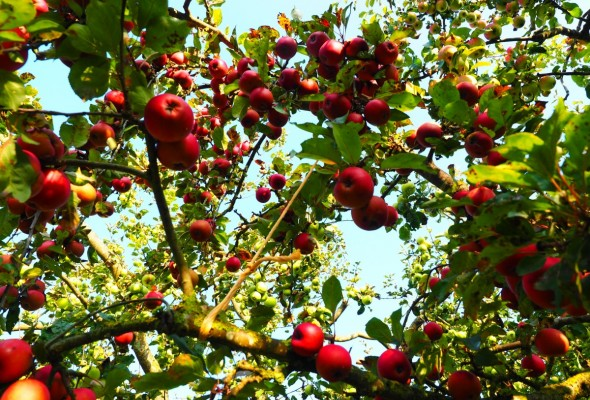 Apples, Apple Orchard