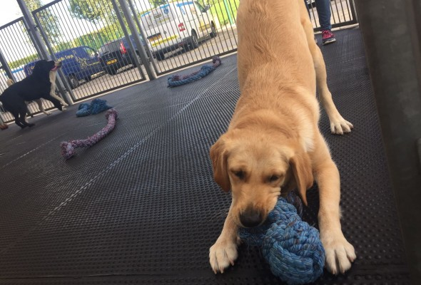 Guide Dog playing with toy
