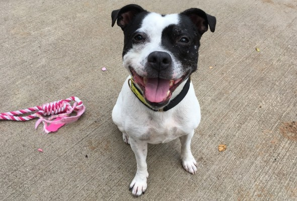 Staffordshire Bull Terrier, Staffy, Dogs Trust, Manchester